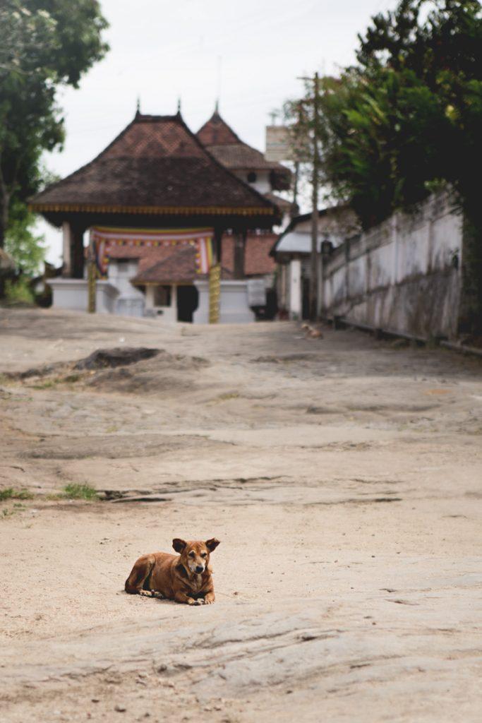 sri lanka chien devant temple