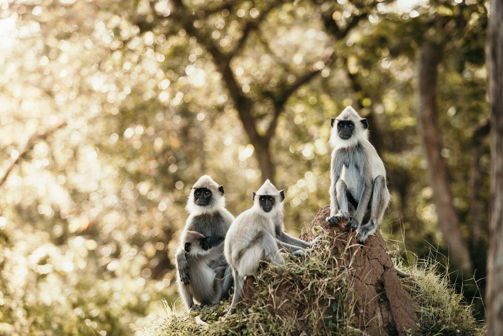 sri lanka famille singe