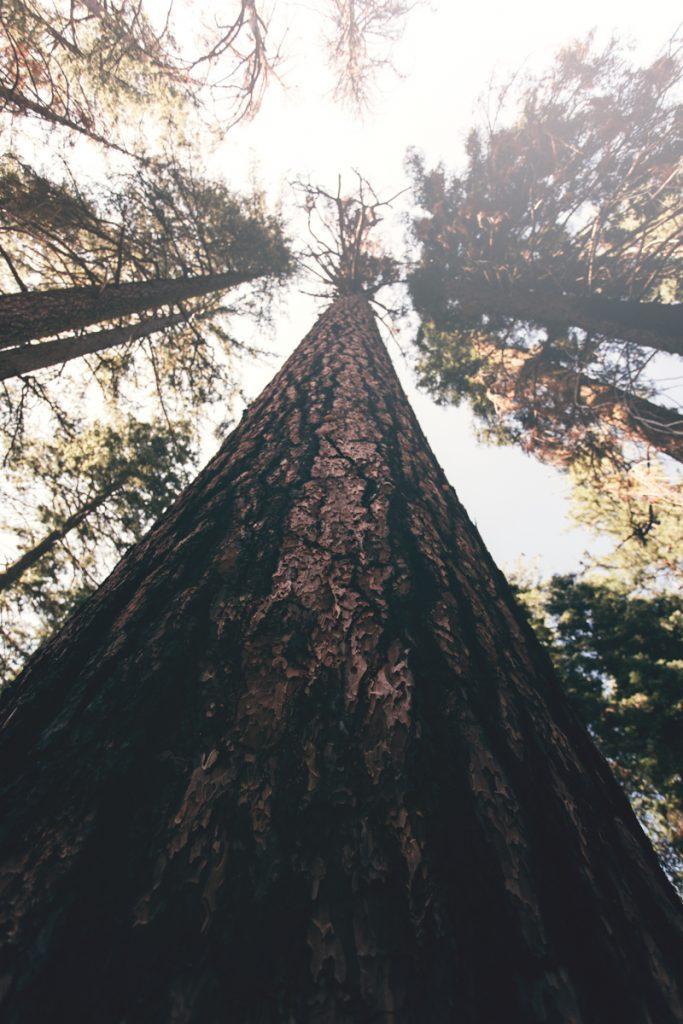 USA : sequoia géant