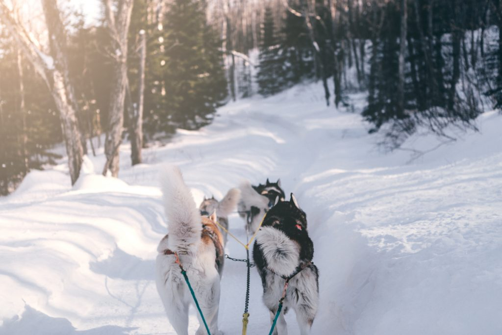 Canada chien de traineau mont tremblant