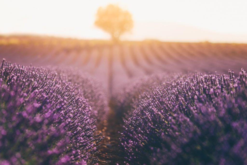 le soleil sur les champs de lavande de Valensole