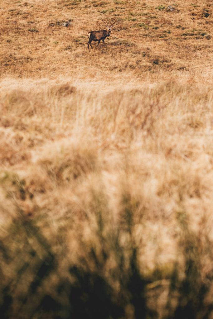 Ecosse glen coe cerf