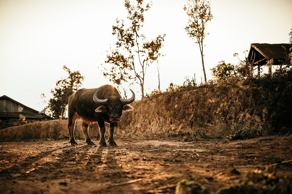 du reflex a l'hybride taureau au laos