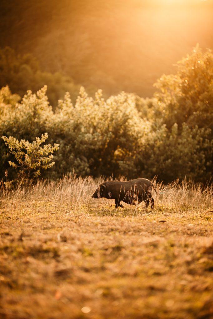 du réflex à l'hybride cochon sauvage laos