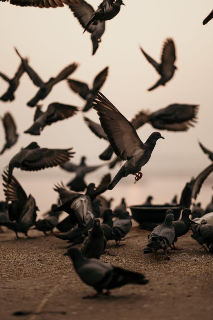 du réflex a l'hybride pigeon inde